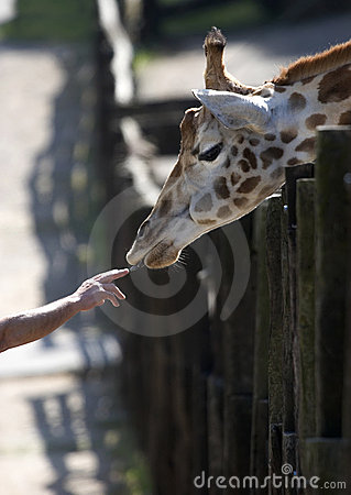 Free Giraffe And Human Hand Stock Images - 620964