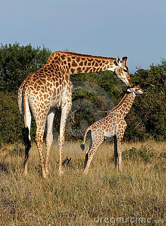 Free Giraffe And Young Stock Image - 9519561