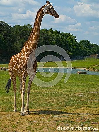 Free Giraffe At The Zoo Stock Photography - 5489702