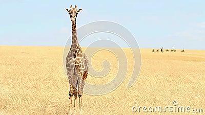 Giraffe auf Masai Mara