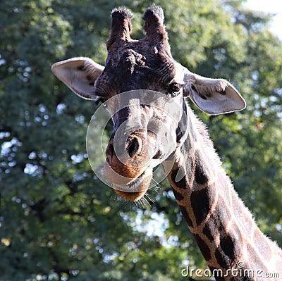 Giraffe beautiful portrait  Wild nature.