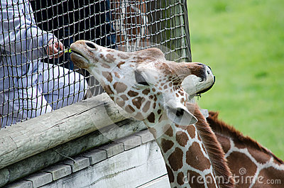 Giraffe Being Hand Fed Stock Images - Image: 24852244