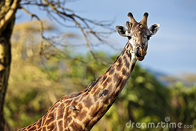 Giraffe with birds on the neck