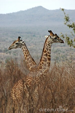 Free Giraffe Boys 1,04 Royalty Free Stock Photos - 61428