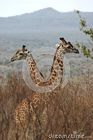 Giraffe boys 1,04