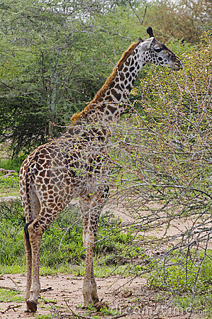 Giraffe browsing on thorny tree branches, Serenget