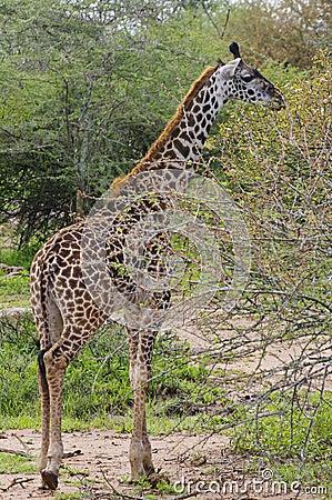 Giraffe browsing on thorny tree branches, Serenget