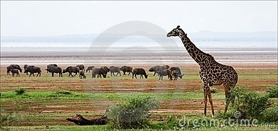 Giraffe and buffalos.