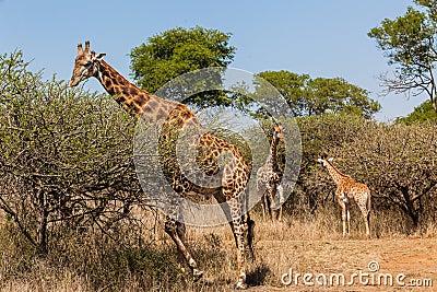Giraffe Bull Calf s Wildlife
