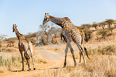 Giraffe Bull Female Animal Wildlife