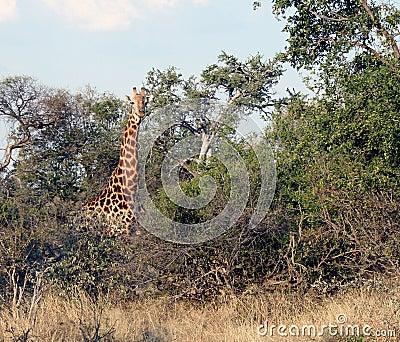 Giraffe in bushveld