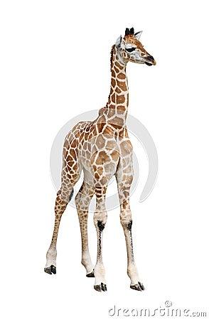Free Giraffe Calf On White Royalty Free Stock Photo - 9838035
