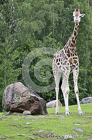 Giraffe, camelopardalis