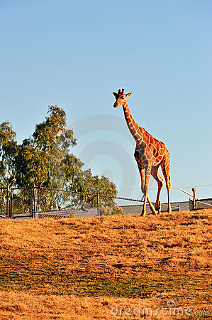 Giraffe in captivity