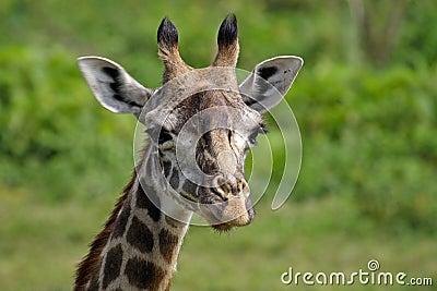 Giraffe close-up, Arusha NP, Tanzania