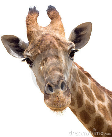 Free Giraffe Closeup Stock Image - 20329681