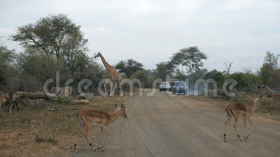 Giraffe crossing the road. Wildlife Safari in the Kruger National Park, major travel destination in South Africa.  stock video