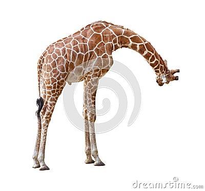 Giraffe curiosity cutout