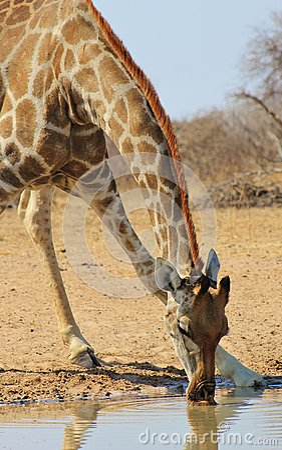 Giraffe - Drinking African Water