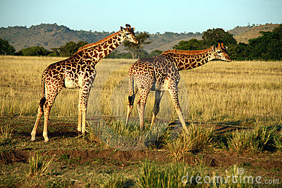 Giraffe Drinking (Kenya)