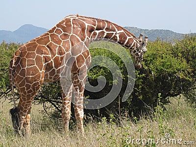 Giraffe eating.