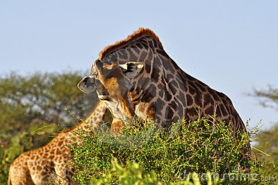 Giraffe eating Africa