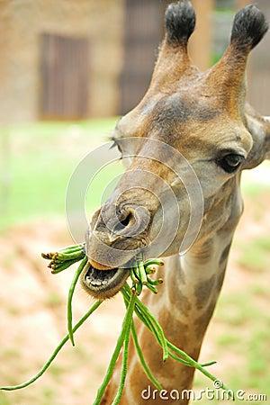 Giraffe eating beans
