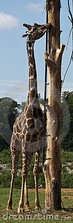 Giraffe Eating at Cotswold wildlife park