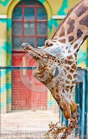 Giraffe are eating leaves