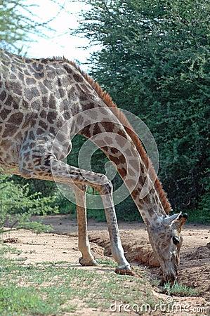 Giraffe Effort.