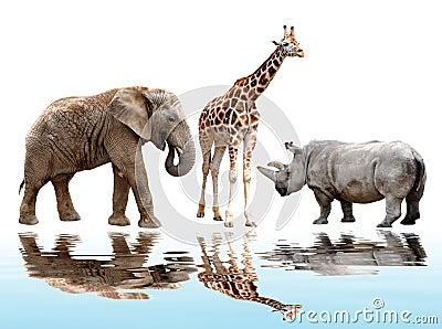 Giraffe,elephant and rhino