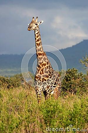Giraffe et un ciel orageux