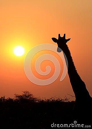 Giraffe in Etosha national reserve