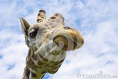 The Giraffe Face