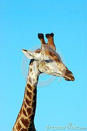 Giraffe face