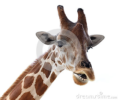 giraffe head white background - photo #49