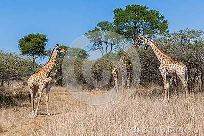 Giraffe Family Calf s Wildlife