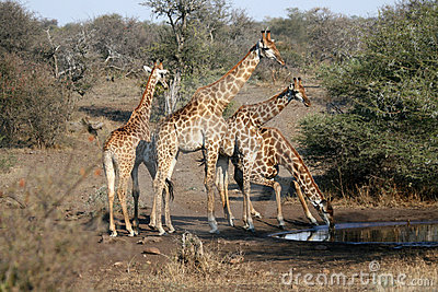 Giraffe Family Drinking