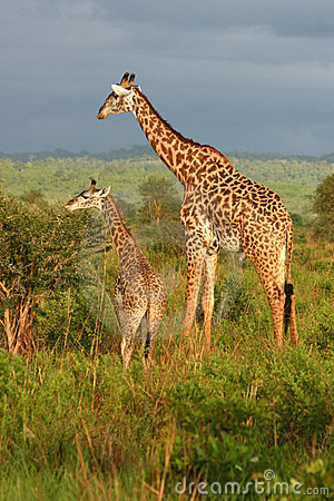 Giraffe Family Feeding Time