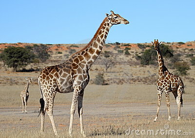Giraffe family in the Kalahari