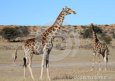 Giraffe family in the Kalahari