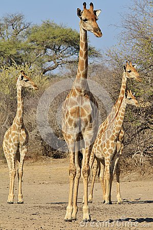 Giraffe Family - Wildlife Background of Watchers in Africa