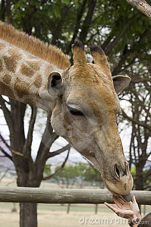 Giraffe feeding from persons hands