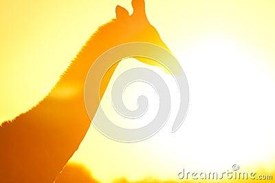 Giraffe in flare
