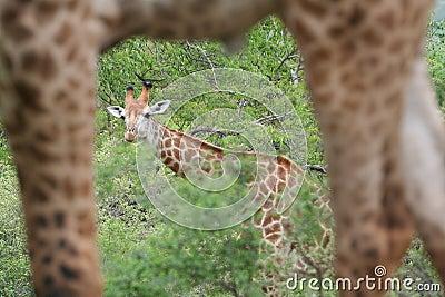Giraffe - framed