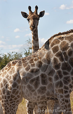 Young Giraffe - Giraffa camelopardalis - Botswana