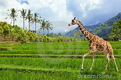 The giraffe goes on a green grass