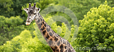 Giraffe and green forest panorama