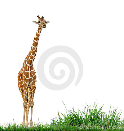 Giraffe and green grass