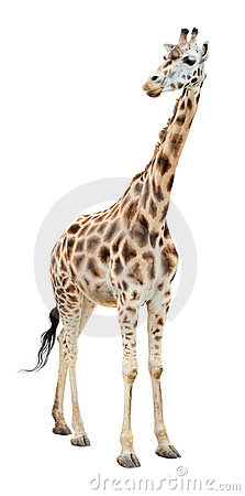 Giraffe half-turn looking cutout
